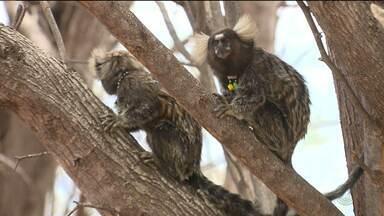 Espertos e graciosos, os pequenos saguis despertaram a atenção de pesquisadores - Um grupo de pesquisadores americanos e brasileiros estudam os saguis de tufo branco em Cabaceiras, PB.