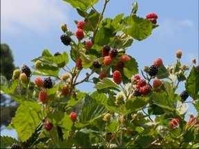 Produção de pequenos frutos cresce na região norte do RS - Agricultores apostam no cultivo da amora para incrementar a renda.