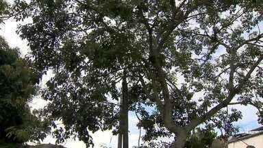 Proximidade de árvores à rede elétrica oferece risco em Juiz de Fora - Só em 2017, 163 ocorrências foram registradas. Período de chuva aumenta preocupação quanto a acidentes e problemas elétricos.