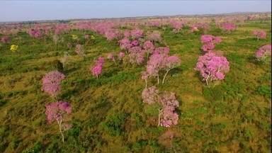 Ipê tem 100 espécies e é a árvore ornamental mais plantada no Brasil - O Globo Rural comemora a edição de número 1900 com um especial sobre o ipê. Conheça os aspectos ambientais e socioeconômicos relacionados à planta, que é nativa das Américas.