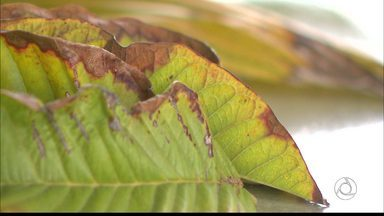 'Paraíba Rural' fala sobre frutos com manchas pretas - Técnico da Ematar explica o que acontece.