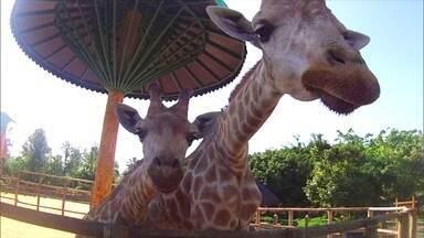 Olha a fofura! Girafa dá à luz filhote de 1,90 m em parque de Santa Cantarina - Na madrugada do último domingo (12), a mamãe girafa começou a sentir as primeiras contrações. Seis horas depois, nascia filhotinho! Veja a reportagem.