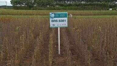 Aumenta o desenvolvimento de cultivares convencionais de soja - Cerca de 90% das lavouras estaduais são cultivadas com soja transgênica. Mas a demanda por convencionais tem aumentado e num dia de campo, novas cultivares foram apresentadas aos produtores.
