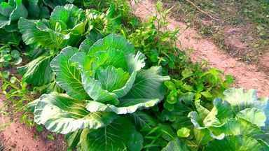 Produtor rural explica a diferença entre alimentos orgânicos e convencionais - Produtor rural explica a diferença entre alimentos orgânicos e convencionais