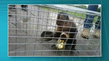 Macaca com latinha presa na pata é captura - Assim que estiver bem, o animal será solto no mata.