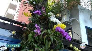 Aprenda como fixar corretamente as orquídeas nas árvores após floração - Muitas árvores viraram atração à parte na paisagem de São Paulo, com o plantio das orquídeas. O problema é que muita gente não está sabendo cultivar as plantas de forma correta. Saiba como fazer o corte corretamente antes de fixar a planta em um tronco de árvore. Uma das dicas é amarrar os galhos da orquídea com fitilho em vez de usar uma haste que já vem com a planta.