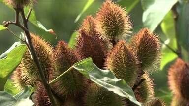 Pólen da planta Nim pode intoxicar abelhas - A árvore foi introduzida no Brasil. Ela também é conhecida como amargosa. Veja os cuidados que devem ser tomados para proteger as colmeias.