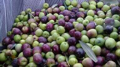 Colheita das oliveiras no RS promete resultar em azeites de muita qualidade - Abertura oficial da colheita ocorreu na última quarta-feira em São Sepé.