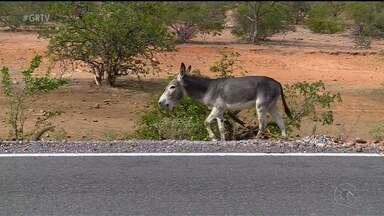 A presença constante de animais nas BRs 316 e 116 preocupa motoristas - O perigo é constante