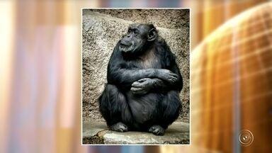 Chimpanzé Cecília chega hoje em Santuário de Primatas de Sorocaba - Chega hoje a Sorocaba (SP) uma chimpanzé que está vindo da argentina. É que a justiça de lá deu um Habeas Corpus para chimpanzé que era mantida num cativeiro em situações precárias.