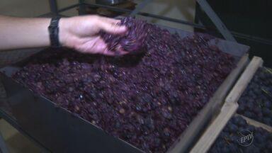 Pesquisa conclui que compostos extraídos do bagaço da uva podem ajudar na saúde humana - Pesquisa conclui que compostos extraídos do bagaço da uva podem ajudar na saúde humana