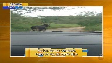 Vídeo mostra boi que teria sido usado em farra do boi em Porto Belo - Vídeo mostra boi que teria sido usado em farra do boi em Porto Belo