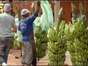 Produção de bananas é destaque no projeto Jaíba e produtores miram o mercado externo - Produção está dentro do projeto de irrigação.