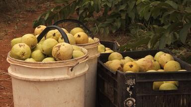 Conheça a história de um agricultor familiar com o espírito de empreendedor - Ele começou catando frutas para a produção de polpas, e atualmente já emprega 70 pessoas.