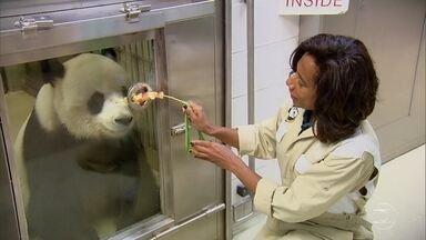 Glória Maria cuida de panda gigante durante um dia em parque - Repórter preparou refeições, alimentou panda e limpou a área que ele ocupa. Para cuidar de um panda é preciso cumprir regras.