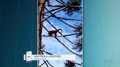 Bugio-ruivo é flagrado em Jaguariaíva - O bicho está ameaçado de extinção.