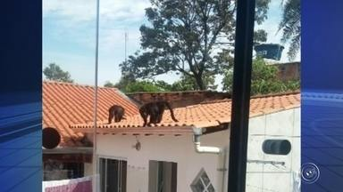 Família de macacos Bugio é vista passando por casas da Vila Haro em Sorocaba - Uma família de macacos da espécie Bugio foi vista passando por casas da Vila Haro, em Sorocaba (SP), nesta quinta-feira (4). O bairro fica perto do Zoológico Municipal da cidade, mas de acordo com biólogos da prefeitura, os animais não vivem no recinto.