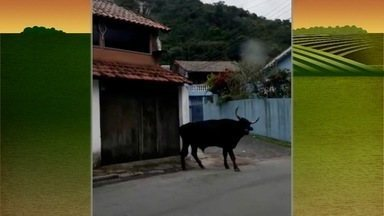 Touro perdido assusta moradores em Petrópolis, no RJ - Assista a seguir.