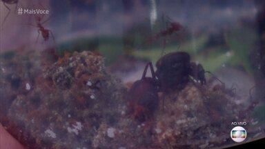 Conheça a organização da colônia de formiga saúva - Ana Eugênia de Carvalho Campos mostra a formiga-rainha e conta que apenas as fêmeas trabalham como operárias. Os machos servem apenas para fecundação da rainha