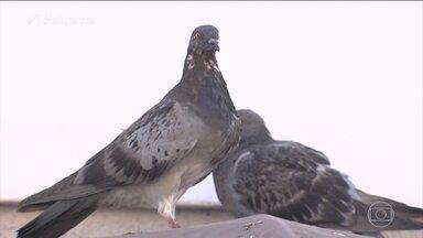 Invasão de pombos traz problemas para família de Goiânia - A casa foi infestada por ácaros. Eles se proliferaram dos ninhos que os pombos fizeram no forro do telhado. Além das alergias, eles estão preocupados com o risco de doenças provocadas pelas aves.