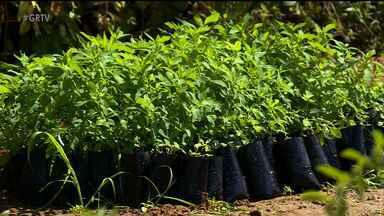 Projeto do IF-Sertão estimula o uso de plantas medicinais - O projeto é desenvolvido por alunos e professores dos cursos de agronomia e do ensino médio do IF-Sertão Petrolina campus Zona Rural .