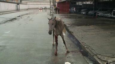Cavalo com sinais de maus-tratos é encontrado na rua de Maceió - Animal ferido estava imóvel na rua e sem reação.