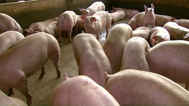 Produtores de suínos reclamam do preço baixo e redução no abate - Preço da carne paga aos produtores caiu de R$ 4,30 para R$ 3,10.