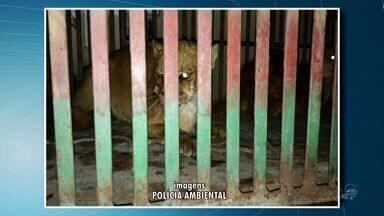 Polícia Ambiental captura casal de onças suçuaranas no Ceará - Onças atacavam animais domésticos na cidade de Irauçuba.
