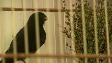 Veja o que é necessário para criar pássaros de forma legal - Homem que ficou famoso por criar papa-capim devolve pássaro de forma voluntária para o IMA.