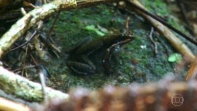 Pequena rã que canta feito pássaro só existe na Ilha Grande - Espécie de rã endêmica foi descoberta na Ilha Grande em 2007 e revelada ao mundo. Nome científico é homenagem ao brasileiro que a descobriu.