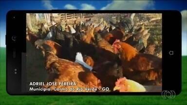 Telespectador mostra criação de galinhas caipiras da espécie colonial - Criação fica em Carmo do Rio Verde.