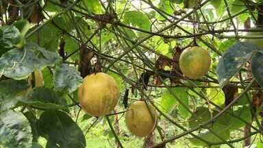 Produtores de maracujá de Coruripe comemoram a chegada das chuvas - Eles vêm conseguindo economizar na irrigação, e com isso, diminuem os custos da fruta.