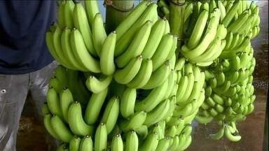 Produtores de banana estão em alerta contra fungo que mata plantações - A raça quatro do fungo fusarium, que ainda não existe no Brasil, preocupa os produtores de banana do Vale do Ribeira, em São Paulo. A doença já atinge lavouras na Oceania e na África.