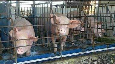Preço do suíno vivo tem alta de 8,30%; veja os preços - Preço do suíno vivo tem alta de 8,30%; veja os preços