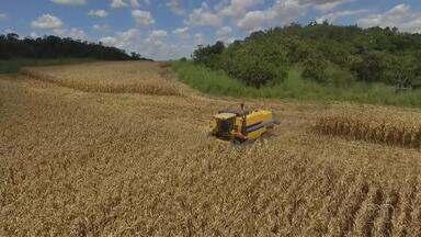 Conab comercializa 448 toneladas de milho no TO através de programa de vendas em balcão - Conab comercializa 448 toneladas de milho no TO através de programa de venda em balcão