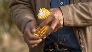 Produtores comemoram boa safra de milho na região - A colheita do milho safrinha na região este ano superou as expectativas. A maior parte dos produtores já colheu toda a safra. Mas se por um lado a produção aumentou bastante, por outro o preço pago pela saca caiu em relação ao ano passado.