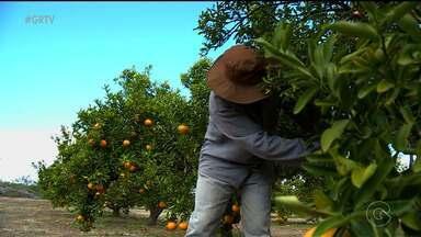 Fruta parecida com a laranja é a nova aposta da Embrapa Semiárido, em Petrolina - O 'tangelo' é resultado do cruzamento de uma tangerina com um pomelo.