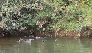 Vídeo inédito de filhotes de pato-mergulhão - O registro foi feito pelo biólogo Wellington Viana.