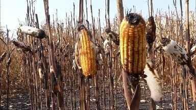 Fogo destrói pastagens, lavouras de milho e máquinas agrícolas em Maracaju, MS - Um fazendeiro de 46 anos teve 80% do corpo queimado durante o incêndio. Ele sofreu queimaduras graves, inclusive nas vias aéreas.
