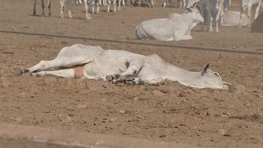 Gado morre por botulismo e especialistas falam como reduzir contaminação em MS - Laudo da Iagro e Ministério da Agricultura confirmaram que 1,1 cabeças de gado morreram por botulismo em fazenda de Ribas do Rio Pardo.