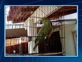 Polícia Ambiental apreende pássaros em Martinópolis - Aves eram mantidas em cativeiro sem autorização de órgão competente
