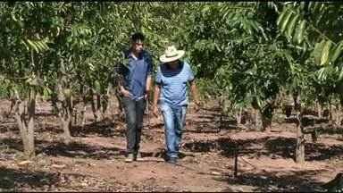 Produtor investe em plantação de graviola e comemora resultados - Produtor investe em plantação de graviola e comemora resultados