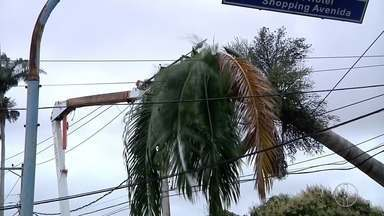 Ventos fortes derrubam palmeira de 14 metros em Campos, no RJ - Trânsito está interditado nos dois sentidos da Avenida Nilo Peçanha, sendo desviado em direção à Avenida 28 de Março.