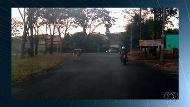 Vídeo flagra rebanho solto em rua no Setor Gentil Meirelles, em Goiânia - Imagem foi enviada pelo aplicativo Quero Ver na TV (QVT).