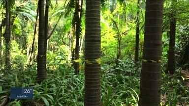 Prefeitura da capital vai cortar palmeiras que ameaçam a flora no Parque Trianon - As palmeiras são de uma espécie exótica e crescem demais, sufocando outras árvores típicas da flora brasileira.