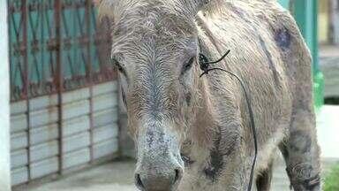Burro com sinais de maus-tratos é encontrado no Bebedouro - Moradores amarraram o animal em um poste para evitar acidentes.