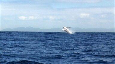 Câmera registra baleias dando saltos na água para se comunicar - Veja as imagens fantásticas registradas pelo projeto Amigos da Jubarte, no momento em que elas se aproximam dos barcos de passeio na costa capixaba e dão saltos na água para se comunicar com outras baleias do grupo.