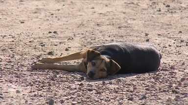 Dez cães são diagnosticados com leishmaniose em Florianópolis - Dez cães são diagnosticados com leishmaniose em Florianópolis