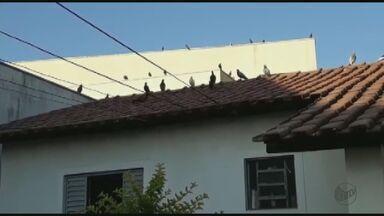 Especialista fala sobre os riscos de pombos em quintais das casas - Infestação de piolhos de pombos fechou UPA de São Carlos por 5 dias.