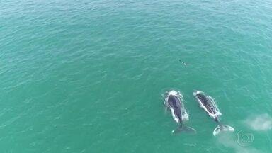Baleias jubarte são vistas no mar da Barra da Tijuca - Todos os anos, por volta de julho, as baleias jubarte deixam as águas geladas e vêm para o litoral brasileiro.